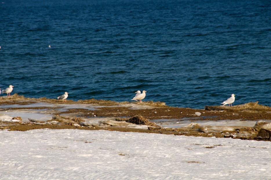 Чайки на берегу бухты Бойсмана.   Полуостров Клерка.