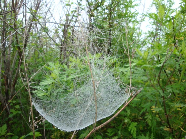 Паутинка в росинках.   Под сенью деревьев