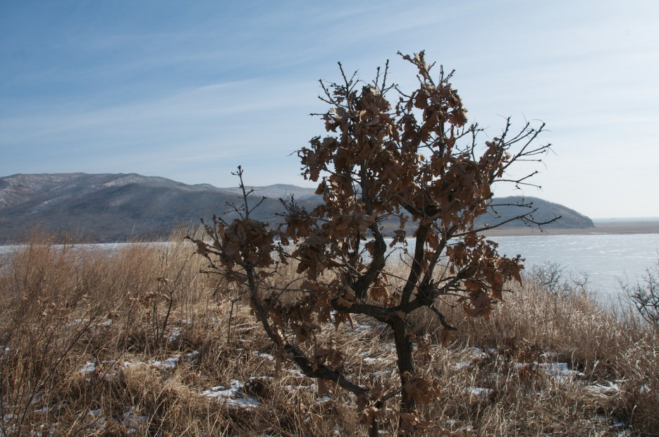 Дуб на берегу озера Родниковое | Хасан зимний. Часть1. Озеро Птичье (Тальми), озеро Родниковое, бухта Калевала.