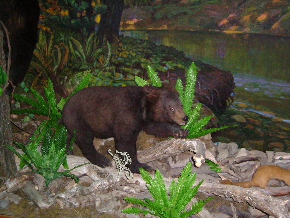 Экспозиция музея природы Лазовского заповедника. Медведь | Лазовский район