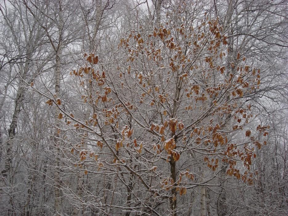 у дуба листья не все опали | Зима в Приморье