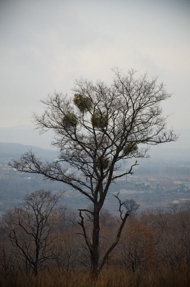 Кормушка омелы. | Барановский вулкан. Надежденско-Уссурийский район.