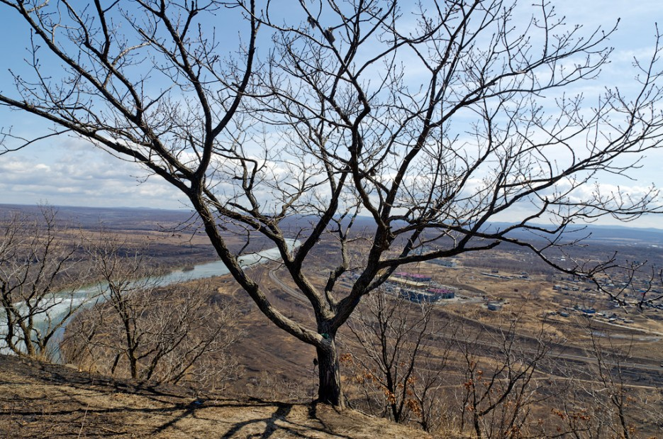 Ветвистое дерево. | Барановский вулкан. Надежденско-Уссурийский район.