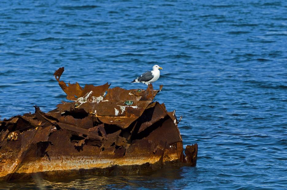 Остатки затонувшего судна облюбовала чайка.   Острова Энгельма и Лаврова. Южное побережье острова Русский. Залив Петра-Великого.