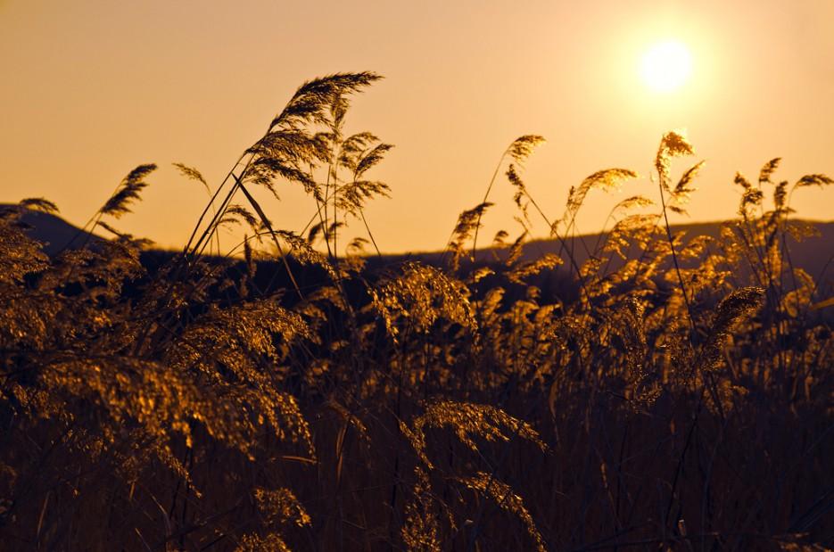 Золотистые колоски. | Полуостров Тобизина и мыс Вятлина. Юго-восточное побережье острова Русский. Весна.