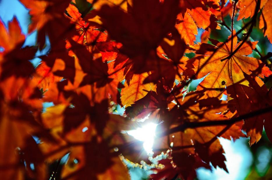 Красные листья клёна. Спускаемся по хребту горы Русских. | Южное побережье острова Русский. Залив Петра-Великого.