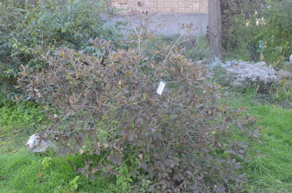 Рододендрон Шлиппенбаха | Ботанический сад, Владивосток