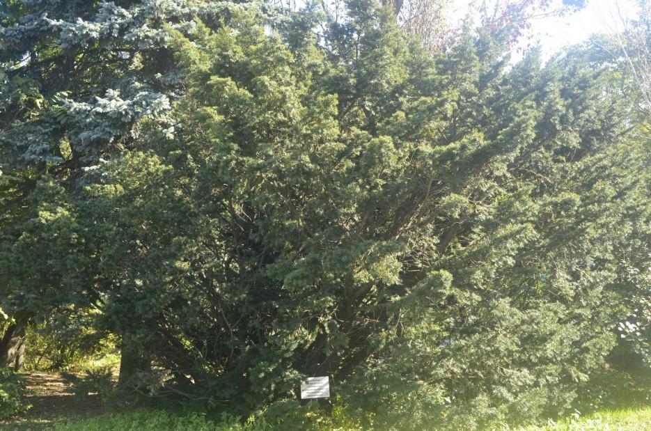 Тис остроконечный | Ботанический сад, Владивосток
