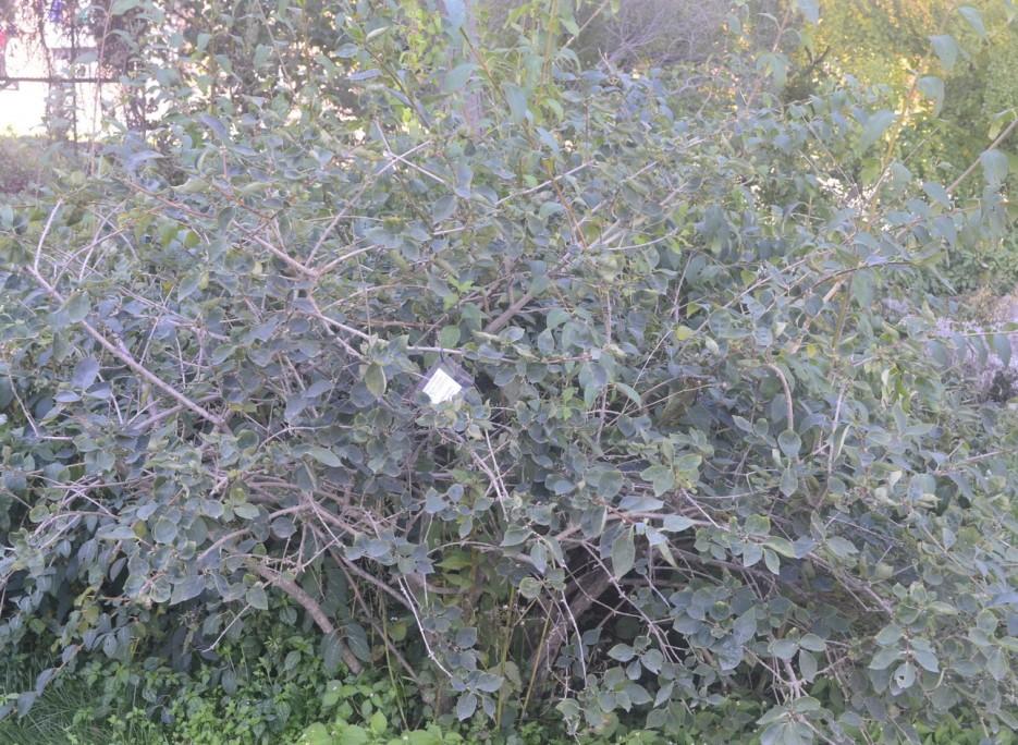 Форлиция яйцевидная | Ботанический сад, Владивосток