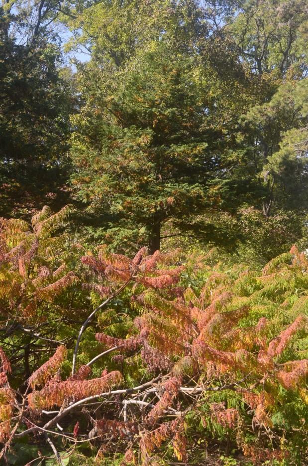 Сумах пушистый (коричнево-красный), форма перистая | Ботанический сад, Владивосток