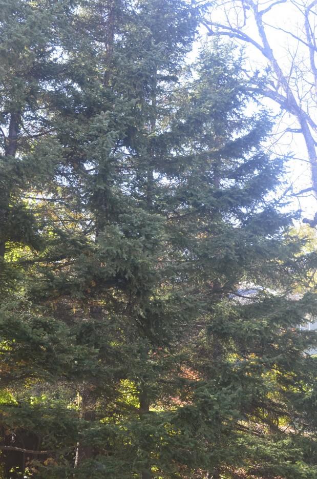 Ботанический сад, Окрестности парка, ели.   Ботанический сад, Владивосток