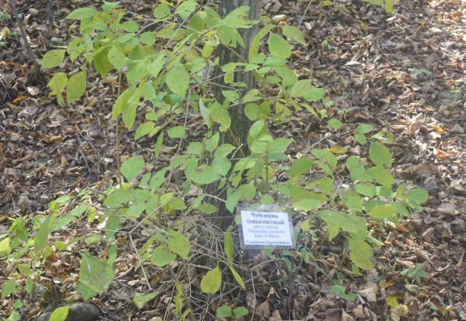 Чубушник, лесополоса   Ботанический сад, Владивосток