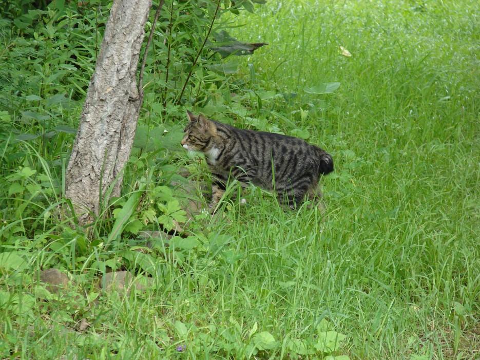 """07.Кот """"Семен"""". Родился 18 июня 2011 года в г.Находка.   Коты базы отдыха """"Бархатная Сихотэ"""" 1.03.2013 года."""