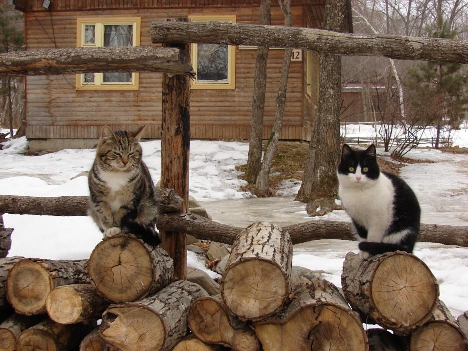 """012.""""Маркиз"""" и """"Бархат"""" на поленнице.   Коты базы отдыха """"Бархатная Сихотэ"""" 1.03.2013 года."""