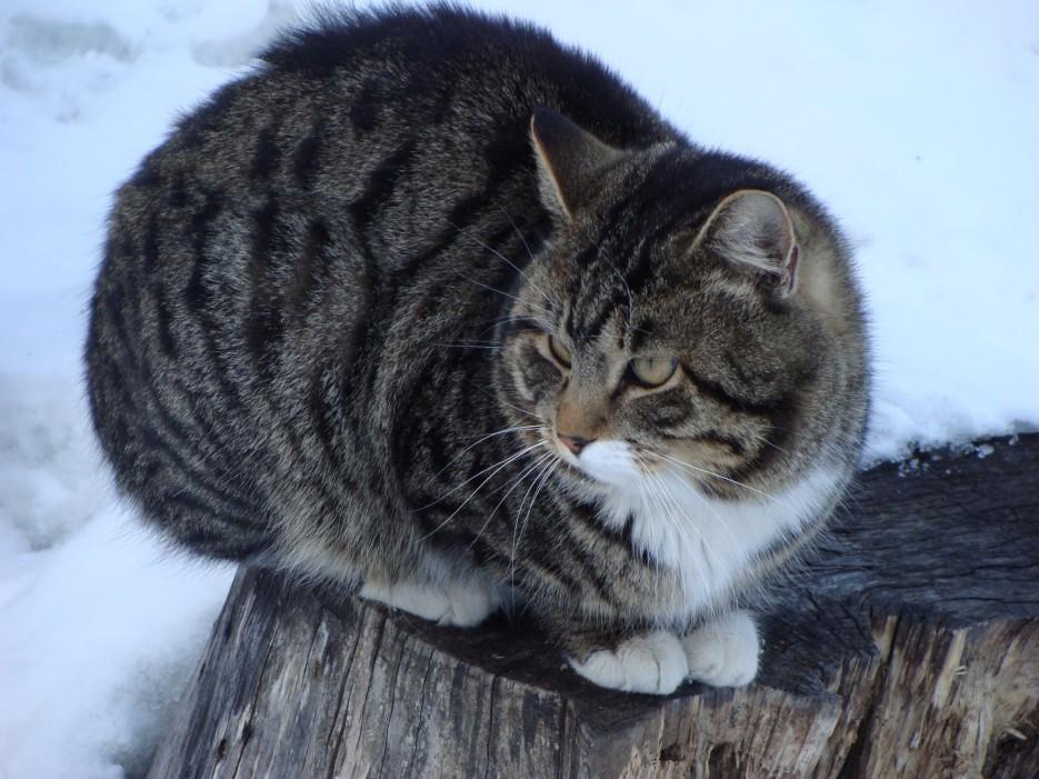 "015.Кот ""Семен"". | Коты базы отдыха ""Бархатная Сихотэ"" 1.03.2013 года."