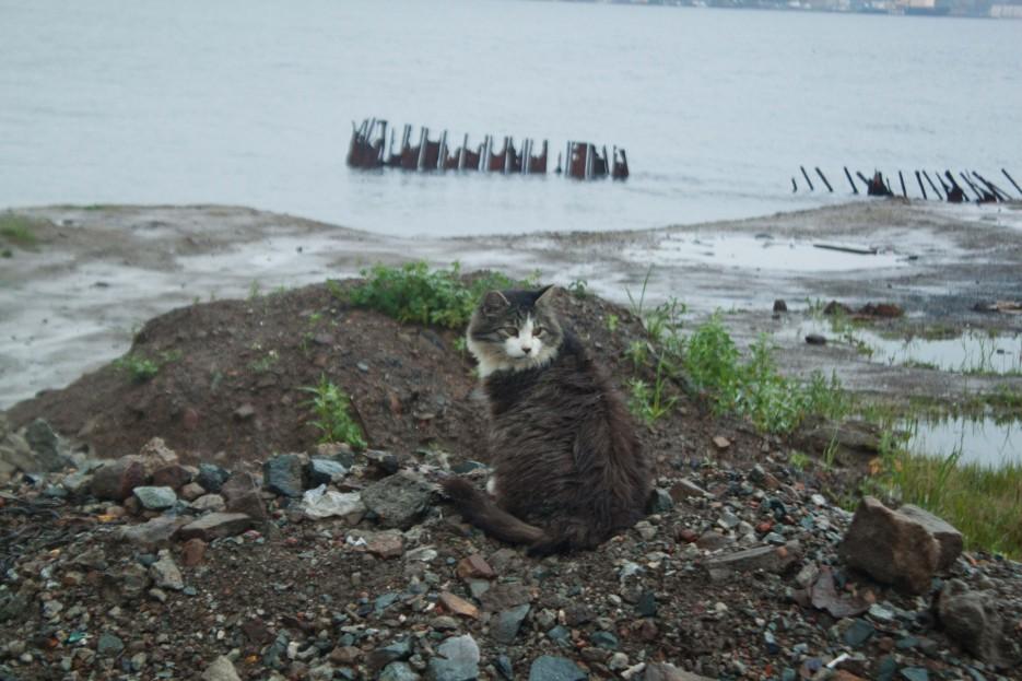 морской котик | Прогулка. По Русскому острову.