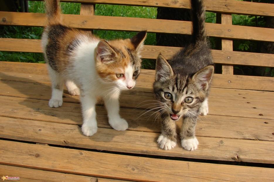 13.Вот мы какие. | Котята на базе отдыха «Бархатная Сихотэ» подросли. Июль 2011 год.