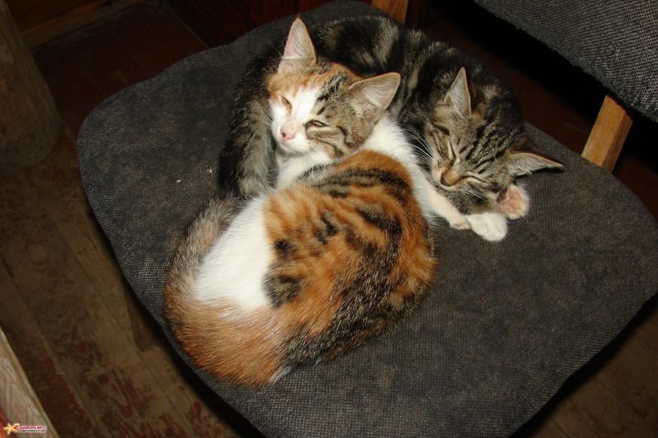 13.Снова спим.   Котята на базе отдыха «Бархатная Сихотэ» подросли. Июль 2011 год.