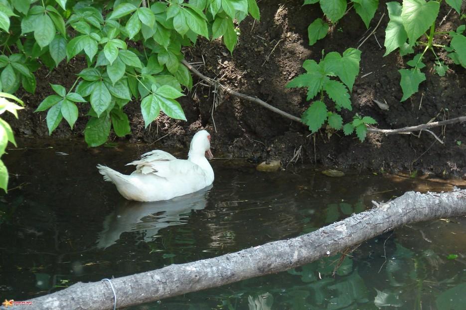 18.Утка плавает. | Лето в д.Лукьяновка. Июль 2011 год.