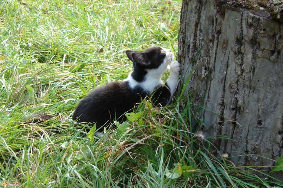 05.Точим когти. | Котята на базе отдыха «Бархатная Сихотэ» растут. Сентябрь 2011 год.