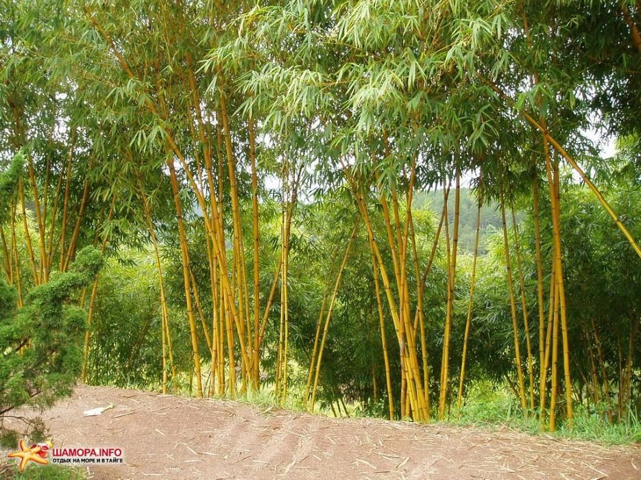 бамбук | Вьетнам. Далат.