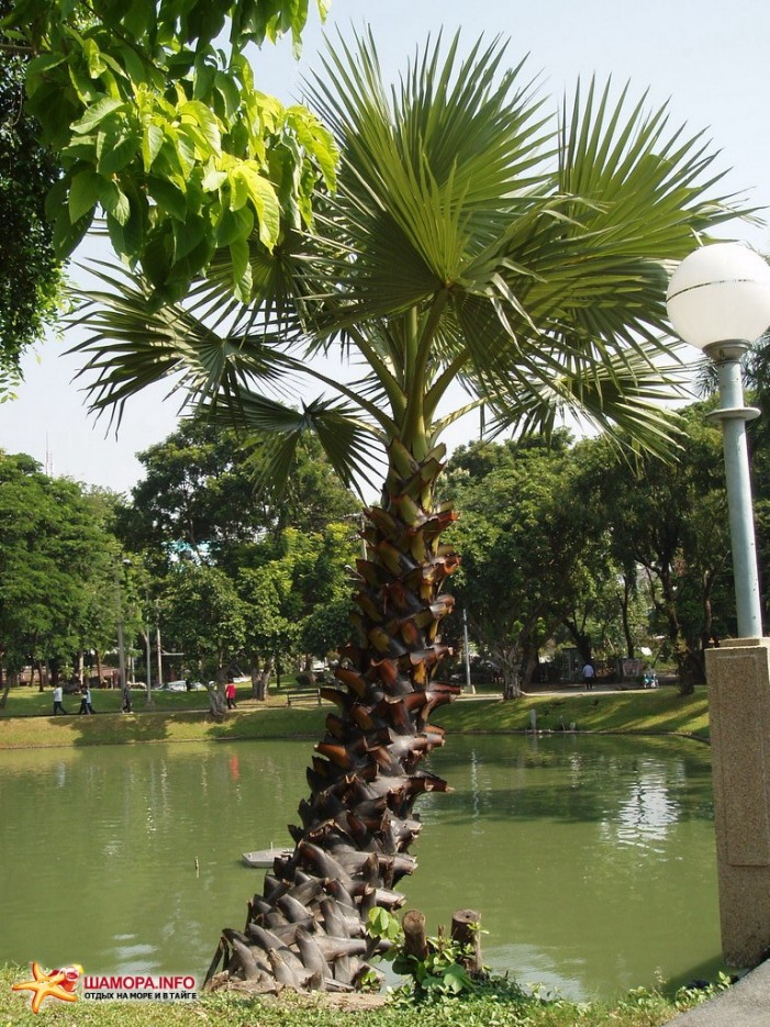 пальмочка | Тайланд. Бангкок.
