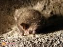 Летучая мышь. Летучая мышь в зимней спячке в форте. Не рекомендуется во время спячки беспокоить мышей, они могут погибнуть от голода, если проснутся!