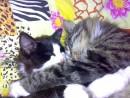 Любовь кошачья
