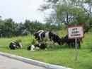 Место высадки пассажиров А пассажирами оказались коровы