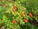 Эти целебные ягоды