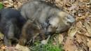 Милые волкособы спят