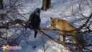 Лисица  и  канюк-зимняк