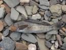 Еще один восьмилинейный терпуг. Жаль, не догадался положить что-нибудь рядом для масштаба. В этой рыбке не меньше 35 см длины.