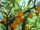 Облепиха 23.09.2007, сад, п.Врангель
