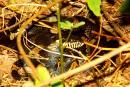 змея в тайге около села Горный хутор,около Черниговки