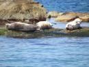 морские котики... около маяка Гамова