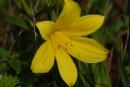 Лилия. цветы острова Рикорда