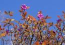 Рододендрон, второе цветение. Октябрь, г.Туманная