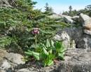 Цветущий бадан