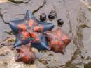 Морские звезды. Полуостров Гамова. Хасанский район.