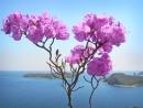 Рододендрон... или с праздником, дорогие женщины!   На острове Кротова. Видны о-ва Моисеева и Сергеева.
