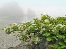 Стелящяяся яблоня.  П-ов Гамова, возле мыса Сосновый.