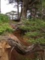 Извилистые корни Могильной сосны в бухте Теляковского. Мыс Гамова. Хасанский район.