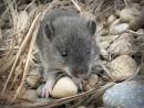 Глупый, маленький мышонок.  На п-ове Гамова.