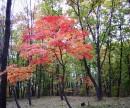Рас кудрявый клен зеленый лист резной. А в данном случае красный)