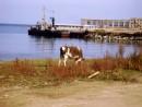 Вот, что значит Приморский край...Бредет себе корова по берегу моря. Романтика, Полуостров Янковского.