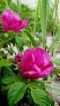 Шиповник цветет. б.Триозерье.