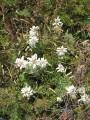 Эдельвейсы в Сихотэ-Алинском биосферном заповеднике. Тернейский район.
