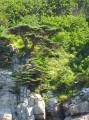 Сосна могильная... на катере по пути из Андреевки к маяку Гамова