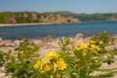 Цветы в Морском заповеднике. Полуостров Гамова. Хасанский район.